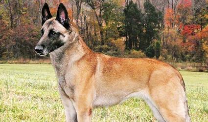 Anjing Gembala Belgia Klasifikasi Hewan Berawal Huruf A