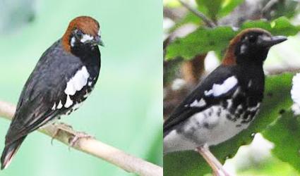 Anis Kembang Burung Klasifikasi Hewan Berawal Huruf A