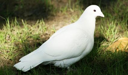 Ciri Ciri Dan Deskripsi Burung Dara Merpati Perbedaan Burung Merpati Dan Dara Klasifikasi Hewan Berawal Huruf D